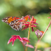 Fritillary on Rose Leaves