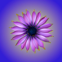 African Daisy, Violet